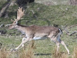Romsø hjort